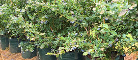 Woven Blueberry Bags Category - Blueberry Growing Supplies - For more information go to GrowingBlueberries.com.au