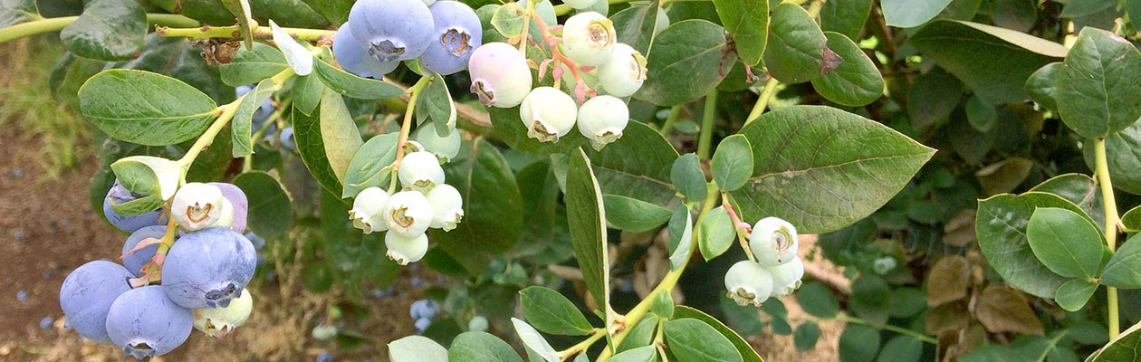 Growing Blueberries - Blueberry Growing Supplies - For more information go to GrowingBlueberries.com.au