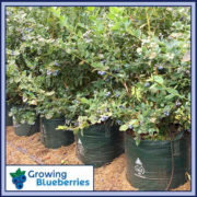 45-litre-Squat-Blueberry-Growing-Woven-Bag-4